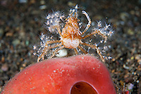 Decorator Crab, covered in Anemones<br /> <br /> <br /> Shot in Indonesia