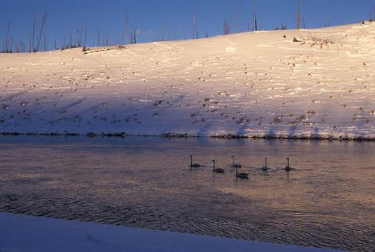 Trumpeter Swan, (Cygnus buccinator) Yellowstone National Park. Madison River.