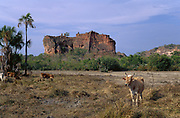 Cattle in Cerrado Habitat<br />