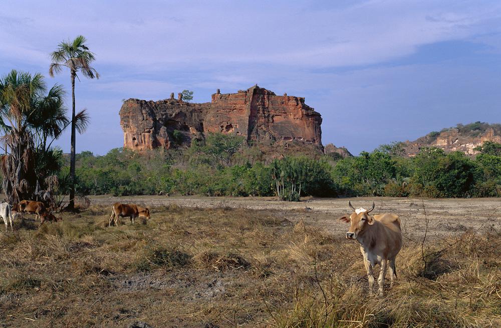 Cattle in Cerrado Habitat<br />THREATENED HABITAT<br />Piaui State, BRAZIL   South America