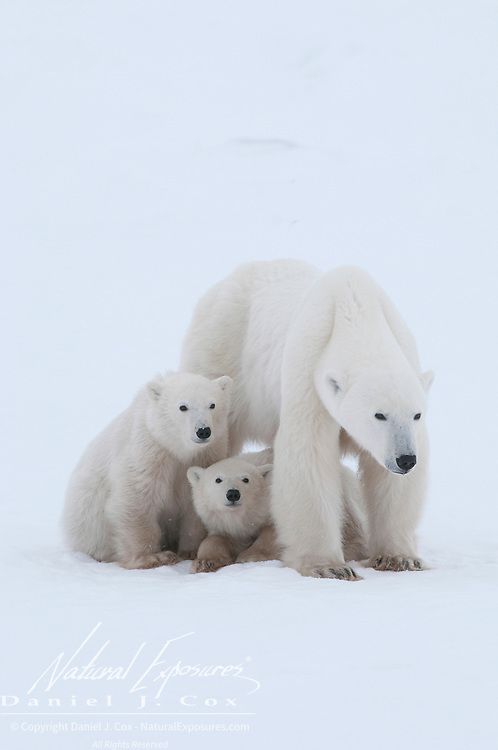 A very skinny polar bear mother with her cubs near Cape Churchill, Manitoba, Canada.