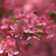 """""""Spring Pinks"""" <br /> <br /> Gorgeous vibrant spring blossoms on a beautiful flowering crabapple tree!"""