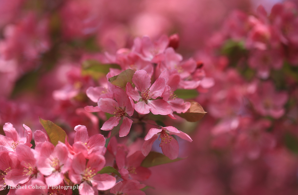 &quot;Spring Pinks&quot; <br /> <br /> Gorgeous vibrant spring blossoms on a beautiful flowering crabapple tree!