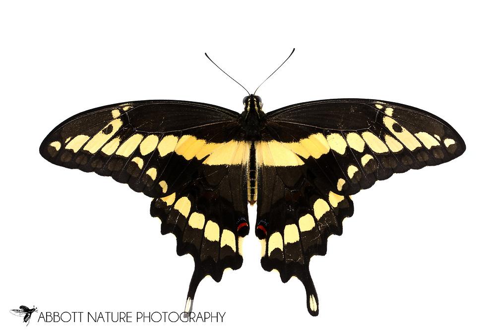 Giant Swallowtail (Papilio cresphontes)<br /> TEXAS: Travis Co.<br /> Austin<br /> 7-June-2015<br /> J.C. Abbott &amp; K.K. Abbott