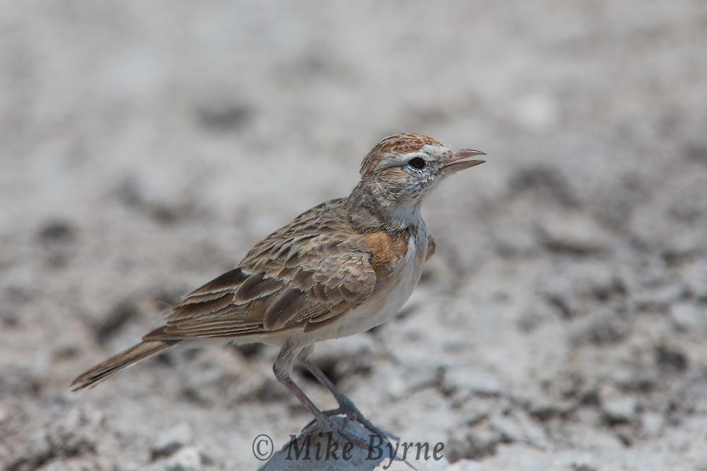 Red-capped lark in Etosha, Namibia.