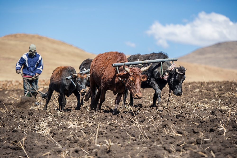 Oxen pulling a plow with their keeper in Somenkong, Lesotho, Africa