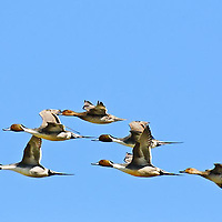 pintail ducks flying