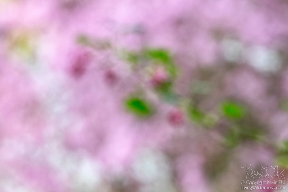 Several different types of spring blossoms — including cherry and flowering currant — are turned into a red, pink and white impressionistic scene on a windy day.