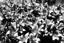 A Field of Electric Petal Silver Lilies in Black and White
