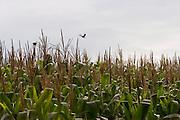 BR120_MG, Brasil...Plantacao de Milho na BR120...The corn plantation in BR120...Foto: BRUNO MAGALHAES / NITRO