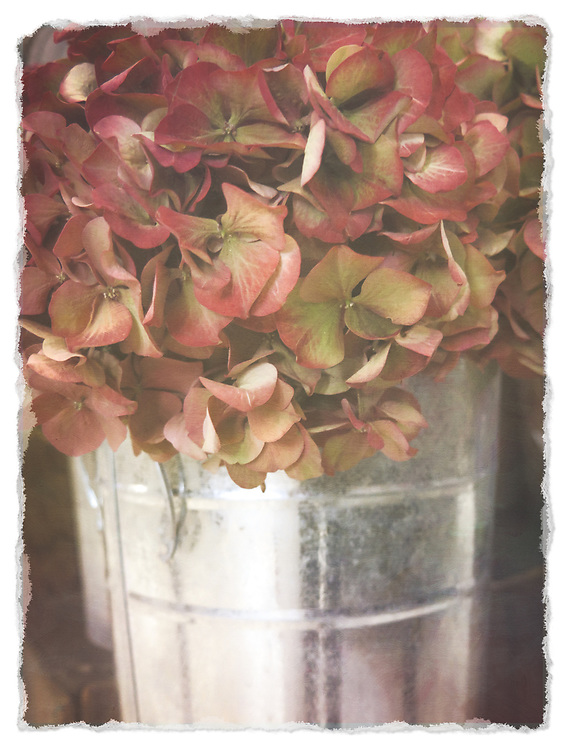 Hydrangea Flowers in a Silver Bucket