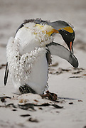 Molting king penguin bitting its flipper while balancing on its on the back of its feet.