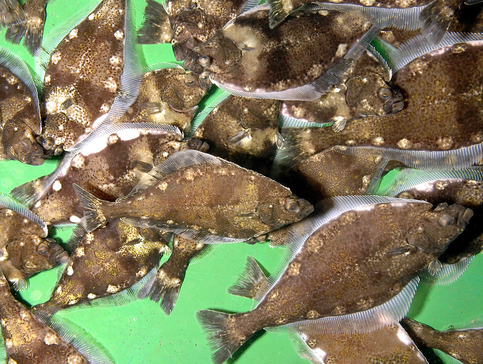 Juvenile Atlantic Halibut (Hippoglossus hippoglossus) in a fish farm.<br /> Location: Norway