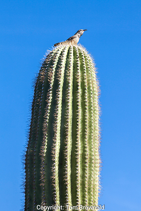 The Sonora Desert brings the song out of a Cactus Wren on this Saguaro cactus