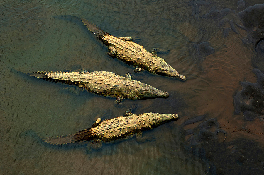 Large American saltwater crocodiles dominate the Rio Tarcoles near the Carara Wildlife Refuge, Costa Rica