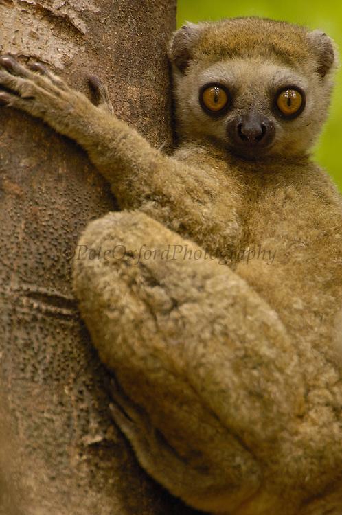 Avahi Lemur (Avahi occidentalis) endemic to western deciduous forest, Ankarafantsika Strict Nature Reserve, Madagascar