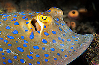 Profile of a Blue-Spotted Ribbontail Ray<br /> <br /> Shot in Indonesia