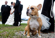 NEWS&GUIDE PHOTO / PRICE CHAMBERS.French Bulldog Poppie stands guard wearing her veil as the bride and groom pose for photographs at Oxbow Bend on Saturday.