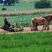 With the help of two family members, an Amish farmer uses his horses to plant tobacco in a field in Lancaster County, PA.