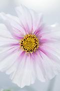 Cosmos bipinnatus 'Daydream' - garden cosmos