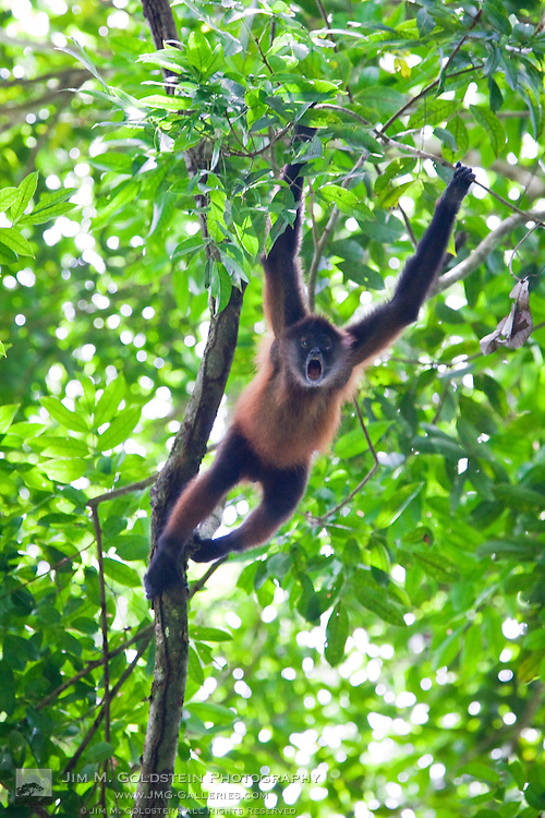 Geoffroy's Spider Monkey (Ateles geoffroyi) aggresively screams and howls to alert the precense of a predator on the jungle floor - Osa Peninsula, Costa Rica