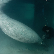 A scientist places a satellite tag on a pregnant manatee name Gina in the Bahamas
