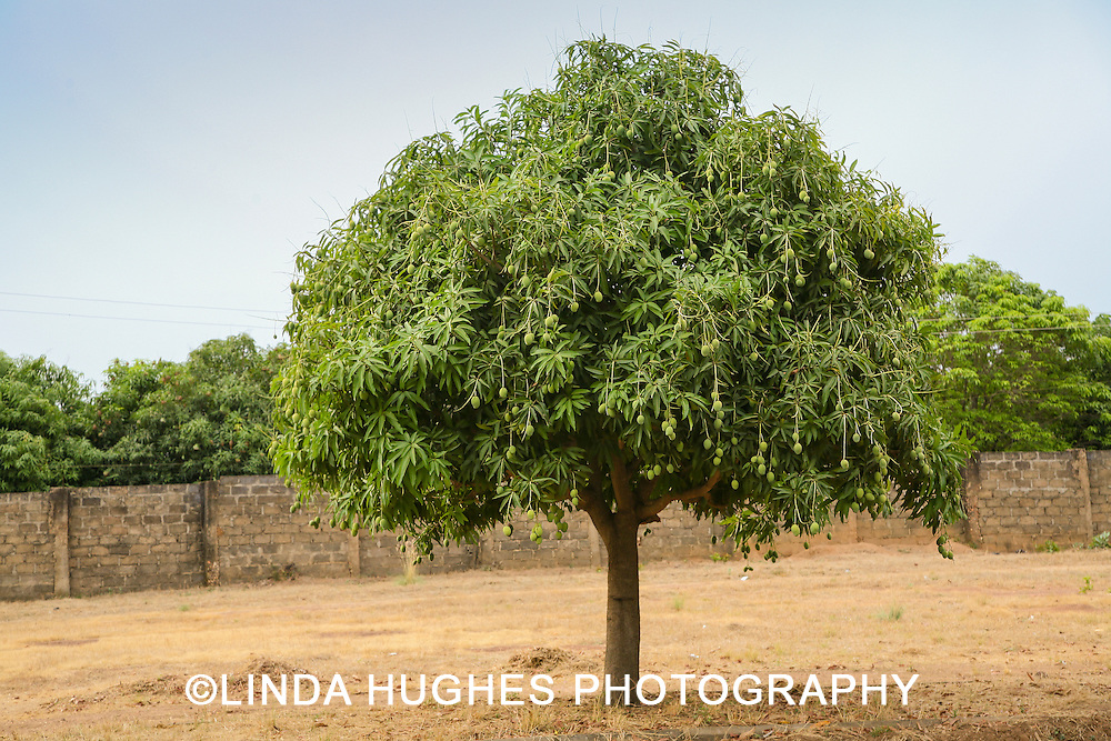 Mango Tree in the Upper West Region of Ghana West Africa