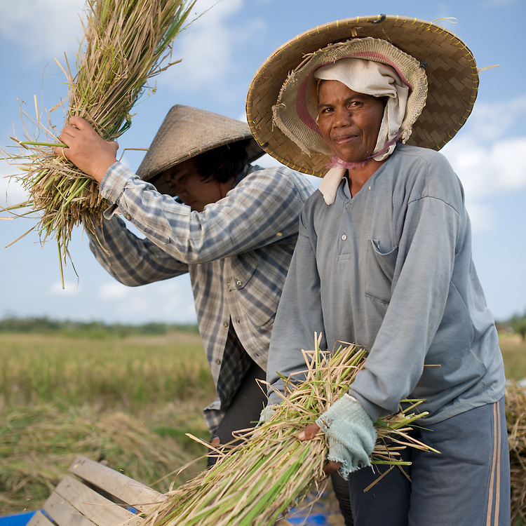 Threshing rice in the fields of Bali, beating the bundles of freshly cut rice against boards to get the rice out.