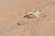 Fennec fox digging in sand in the Sahara desert, Morocco.