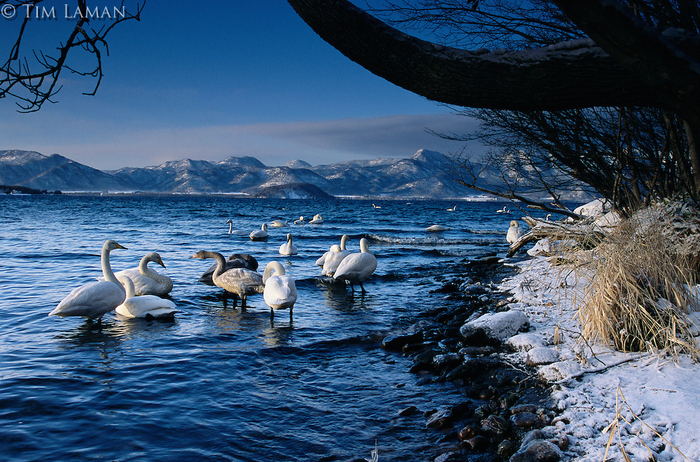 Whooper swans (Cygnus cygnus) in water with mountain landscape in distance.