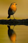 European Robin male (Erithacus rubecula) pond reflex, Alicante ,Spain
