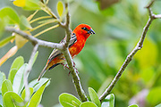 Male Madagascar Fody, D'Arros Island and St Joseph Atoll, Amirantees, Seychelles,