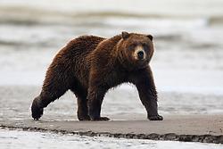 North American brown bear /  coastal grizzly bear (Ursus arctos horribilis) walking along a sand bar between Cook Inlet and Silver Salmon Creek, Lake Clark National Park, Alaska, United States of America