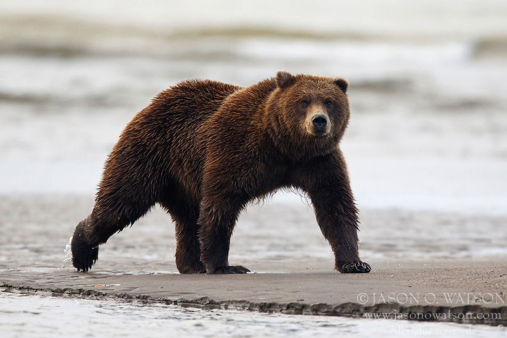 North American brown bear /  coastal grizzly bear (Ursus arctos horribilis) walking along a sand bar between Cook Inlet and Silver Salmon Creek, Lake Clark National Park, Alaska, United States of America