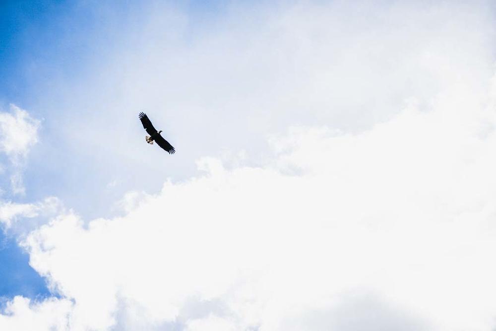 Bald eagle above the Bulkley River, New Hazelton, BC.