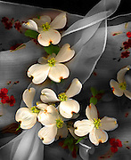 White Dogwood blossom against floral scarf