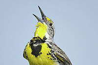 Western Meadowlark (Sturnella neglecta) on fence post, Langdon reservoir, Alberta, Canada   Photo: Peter Llewellyn