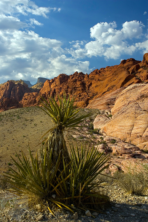 A Yucca tree decorates the landscape at Calico Hills, a part of the Red Rock Canyon National Conservation Area  about 19 miles west of Las Vegas, Nevada.