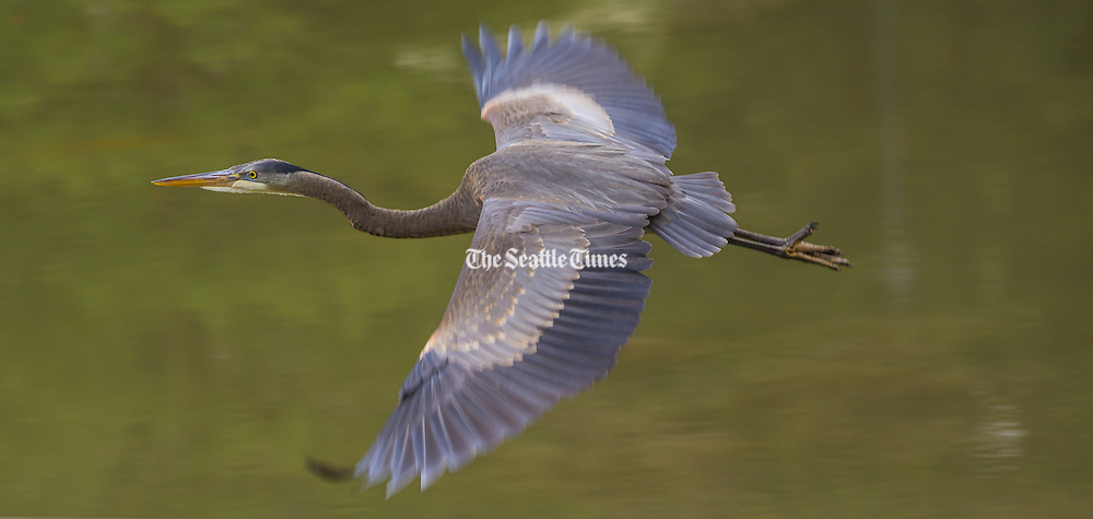 A great blue heron takes flight from a pond at the Washington Park Arboretum on Wednesday. <br />
