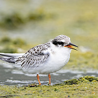 The least tern is the smallest of American Terns.