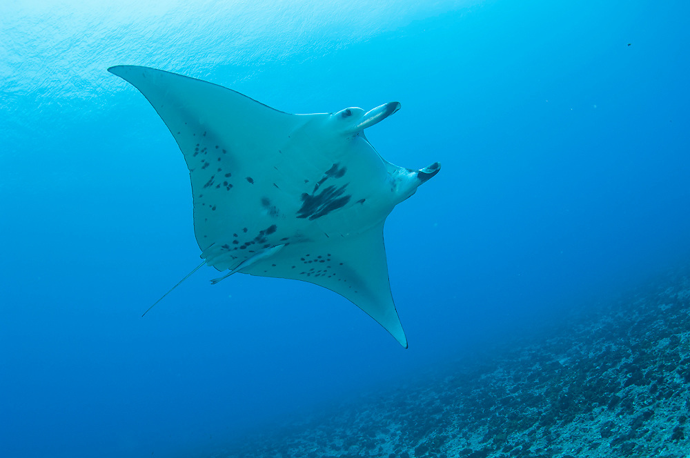 A Manta Ray, Manta birostris, swims in Tiputa Pass, Rangiroa Atoll, French Polynesia