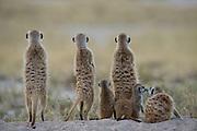 Meerkat or Suricate Family (Suricata suricatta)<br /> Makgadikgadi Pans, Kalahari Desert<br /> Northeast BOTSWANA<br /> HABITAT &amp; RANGE: Kalahari Desert in Botswana, Namib Desert of Namibia, Angola and South Africa