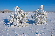 Hoarfrost covered Scots pine trees<br /> Birds Hill Provincial Park<br /> Manitoba<br /> Canada