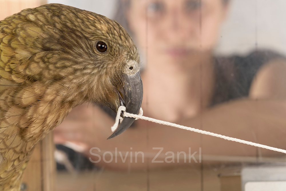 [captive] In this experiment, the Kea (Nestor notabilis) and the PhD student Amelia Wein need to pull different ends of a string simultaneously so that the Kea can reach a treat. The picture was taken in cooperation with the University of Vienna (UniVie) and University of Veterinary Medicine Vienna (VetMed). Sequence 8/18. | In diesem Versuch müssen der Kea (Nestor notabilis) und die Doktorandin Amelia Wein gleichzeitig an verschiedenen Enden eines Seils ziehen, damit der Kea an eine Belohnung herankommt. Das Bild wurde in Zusammenarbeit mit der Veterinärmedizinischen Universität Wien und der Universität Wien erstellt. Sequenz 8/18.