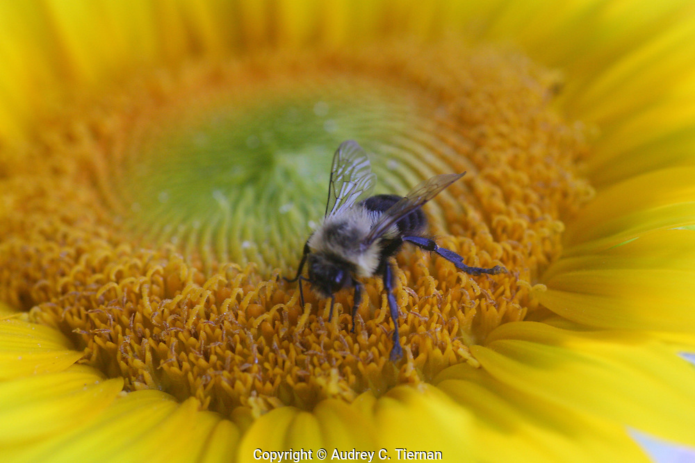 Roslyn Heights, NY:  A bee collects pollen from a sunflower. © Audrey C. Tiernan