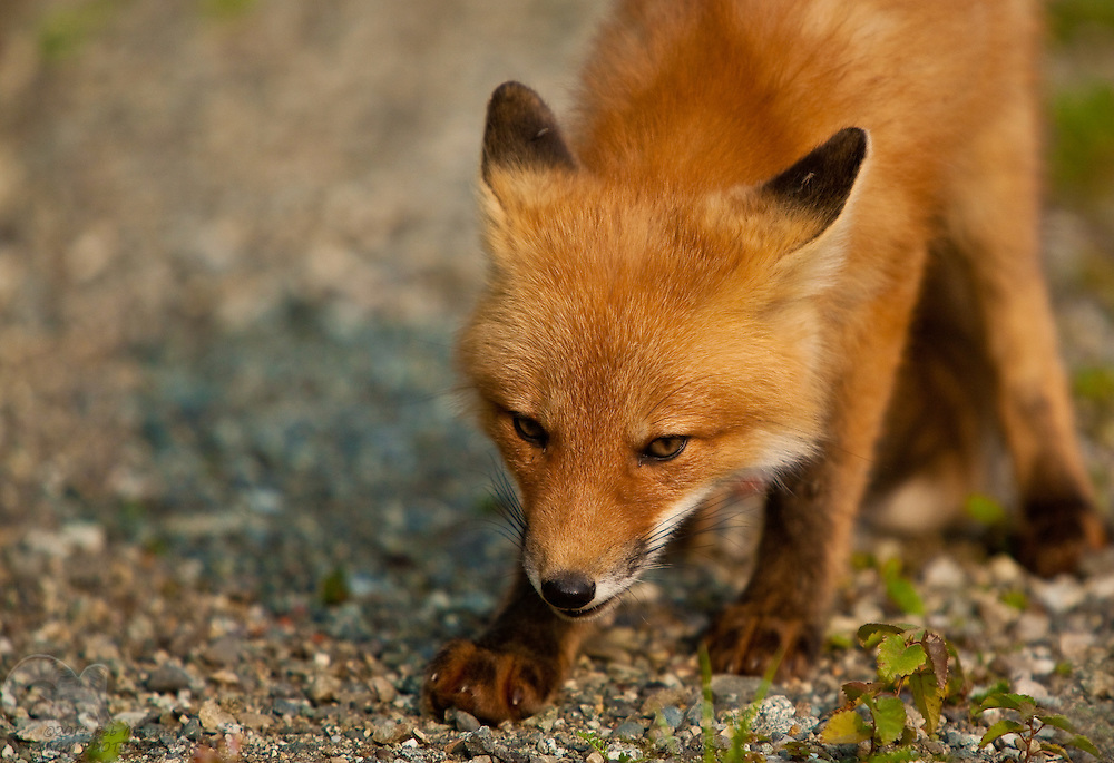 A baby red fox appears angry as it looks for food in gravel.