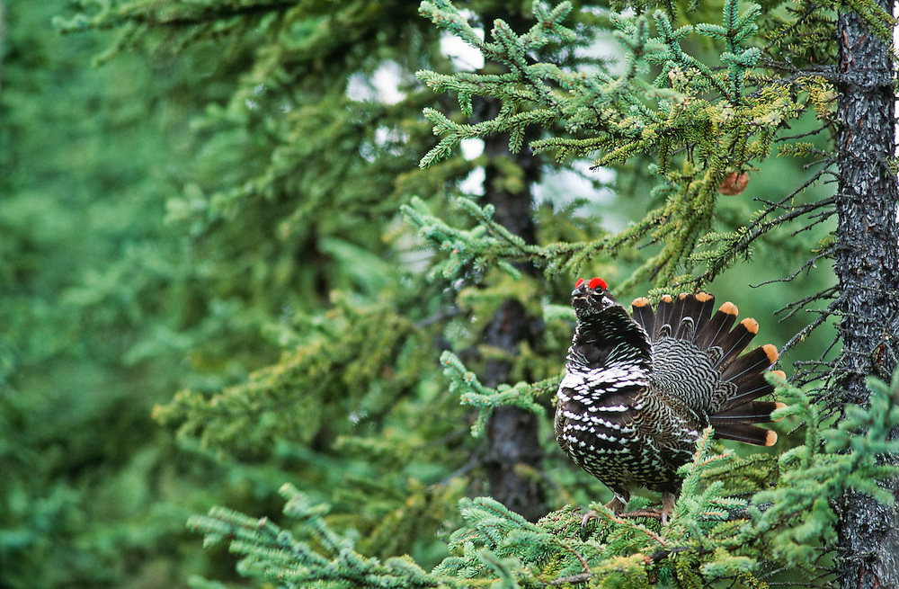 Spruce grouse in the Kenai National Wildlife refuge with a mating display in the trees.
