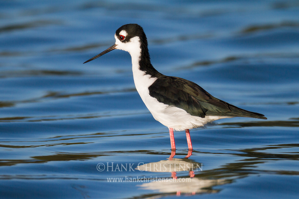 A black-necked stilt stands in shallow water