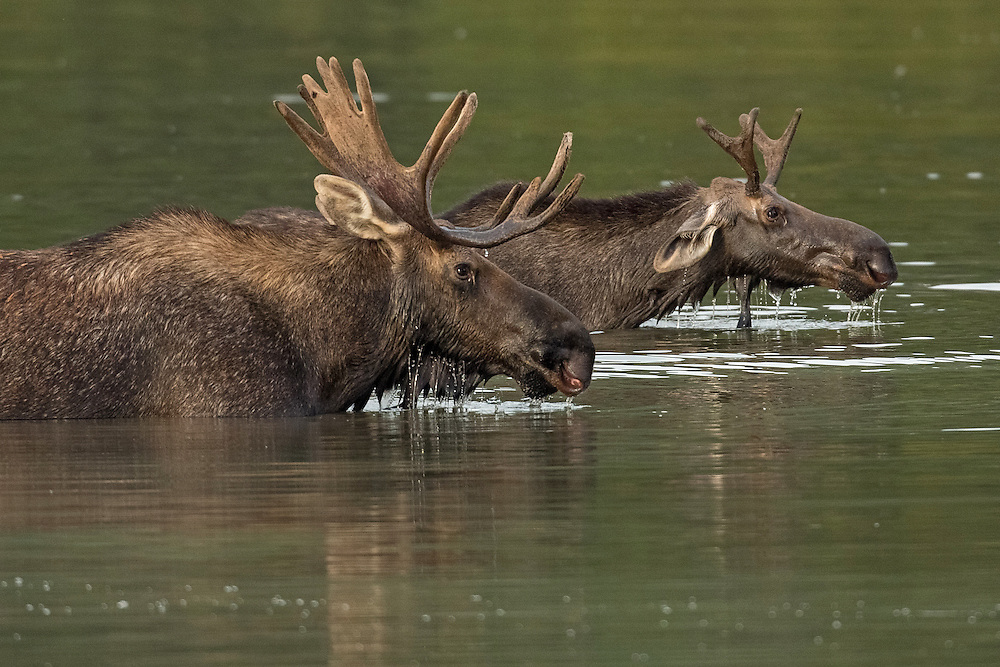 After spending their first year with their mother, young moose are cast off when the cow is ready to give birth to a new calf the following year. This yearling bull, recently separated from his mother, appears to have made a  friend of this patient adult bull at Fishercap Lake in Glacier National Park.