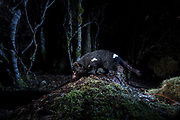 A Tasmanian devil photographed by camera trap while crossing on a log in the rainforest area of Cradle Mountain.